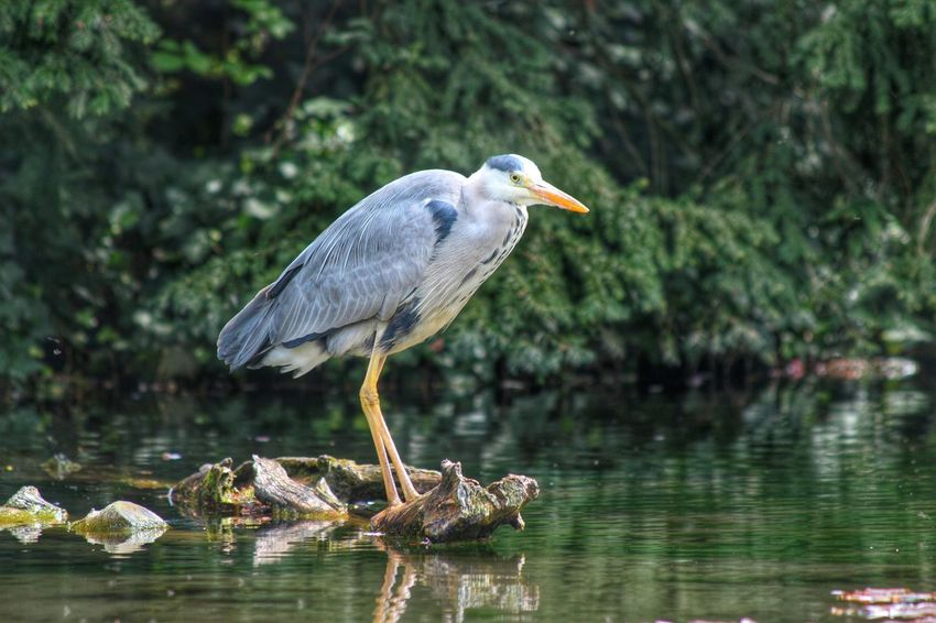 Animal Bird Heron