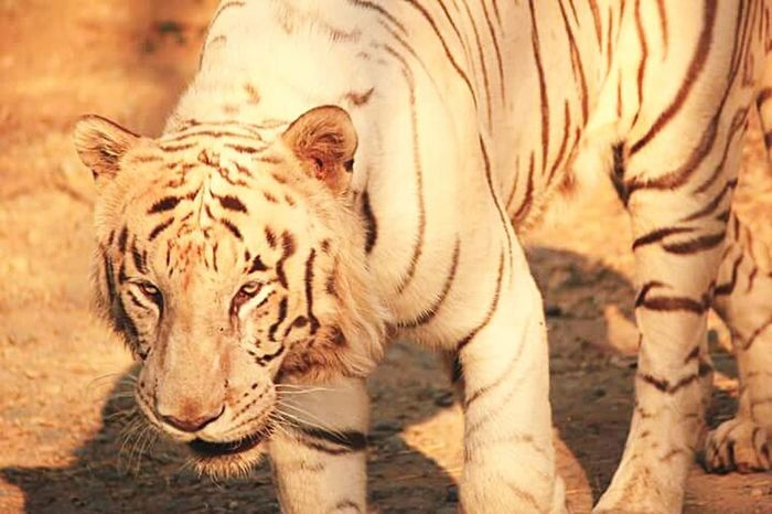 Tigerextinct Savetiger Widlife Photography Zoo Safaripark Animal Love Canon