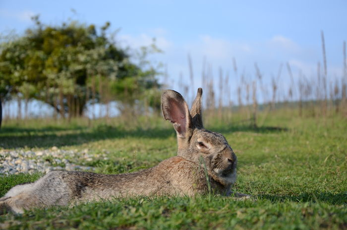 Beauty In Nature Farm Farm Life Field Field Grass Grassy Green Green Color Landscape Mammal Nature Nature Outdoors Rabbit Rabbits Ranch Ranch Life Relaxation Sky Tree Wild Wild Life