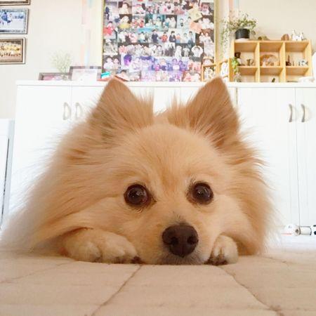ポメラニアン 犬 Dog Pomeranian Pomeranian Love Pomeranianlove Rico 可愛い Cute セルフミゾリーノ