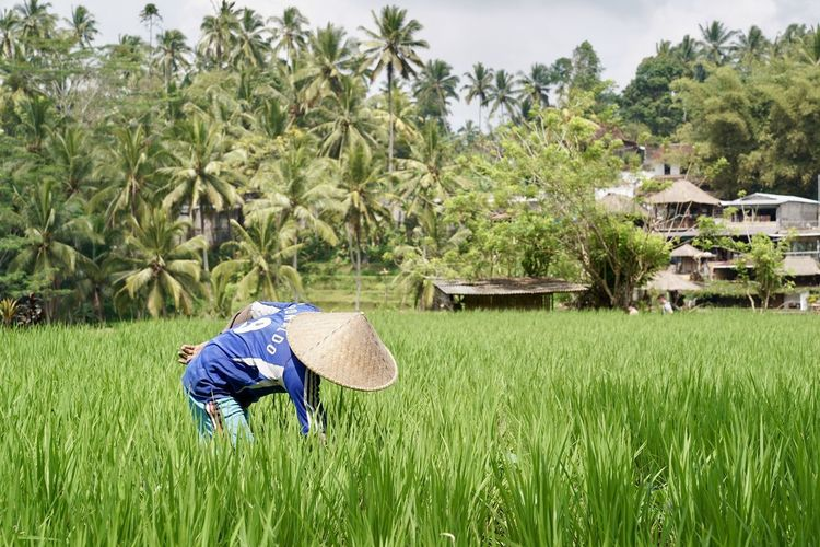 Football Hat Rice Paddy Worker Working Agriculture Crop  Day Farm Farmer Field Grass Green Color Growth Hat Land Landscape Nature One Person Outdoors Palm Tree Plant Real People Rice - Cereal Plant Rice Field Rural Scene Tree Working world cup 2018 The Photojournalist - 2018 EyeEm Awards The Great Outdoors - 2018 EyeEm Awards The Traveler - 2018 EyeEm Awards The Portraitist - 2018 EyeEm Awards Redefining Menswear
