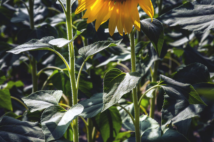 Plant Growth Beauty In Nature Plant Part Leaf Close-up Nature Freshness Flowering Plant Fragility Flower No People Vulnerability  Focus On Foreground Yellow Sunlight Outdoors Green Color Day Petal Flower Head Purity Spring