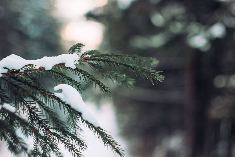 Winter forest fir branches in snow close up background Tree Plant Growth Close-up Leaf Focus On Foreground Day Branch Nature No People Selective Focus Plant Part Pine Tree Beauty In Nature Green Color Outdoors Coniferous Tree Tranquility Cold Temperature Winter Needle - Plant Part Fir Tree Leaves