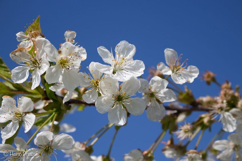Flower Fragility White Color Blossom Beauty In Nature Tree Springtime Apple Blossom Nature Growth Apple Tree Branch Freshness Petal Botany Orchard Twig No People Flower Head Clear Sky