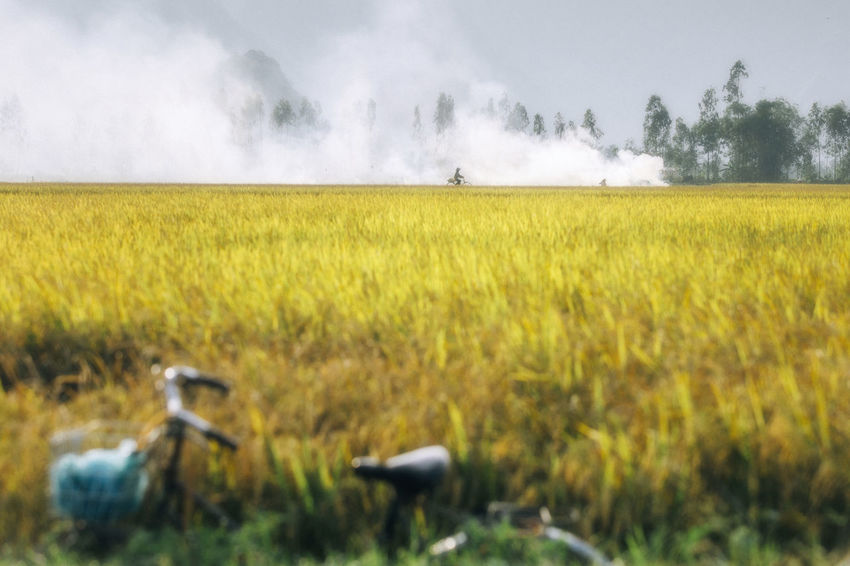 Rice paddy field Fieldscape Flimphotography HeritageVillage Landscape_photography Rice Paddy Fields Vietnamphotography Vietnamtravel Village