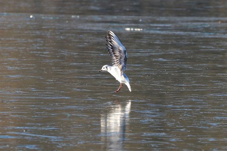 Seagull landing on ice