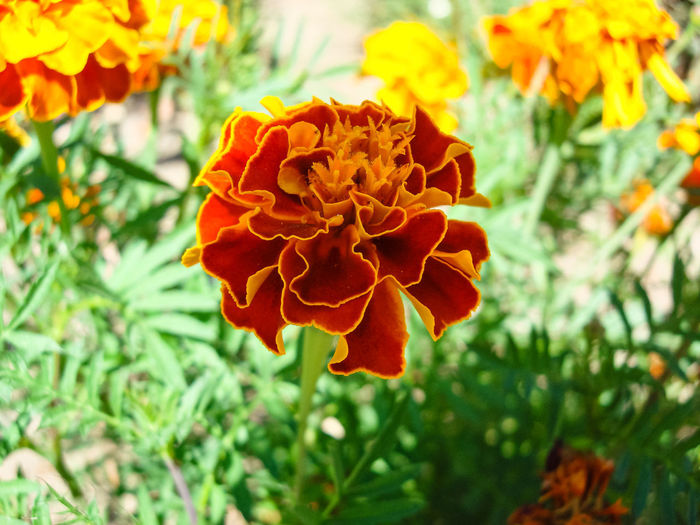 Close-up of red marigold flower