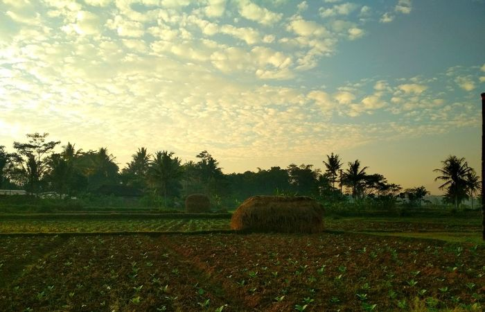 Tumpukan jerami Plant Sky Tree Tranquility Tranquil Scene Landscape Beauty In Nature Cloud - Sky Field Land Scenics - Nature Nature Growth Environment No People Rural Scene Agriculture Grass Sunset Green Color Grass Multi Colored Botany Food Crop