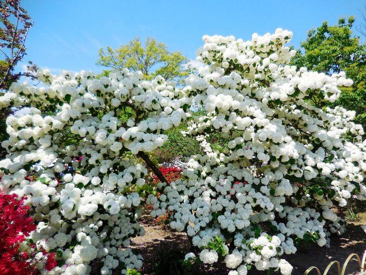 Japanese Snowball Snowball Japan Flowers Flower EyeEm Flower White Travel Destination 9 Places Of The World Of Dream Ashikaga Flower Park あしかがフラワーパーク✨オオデマリ