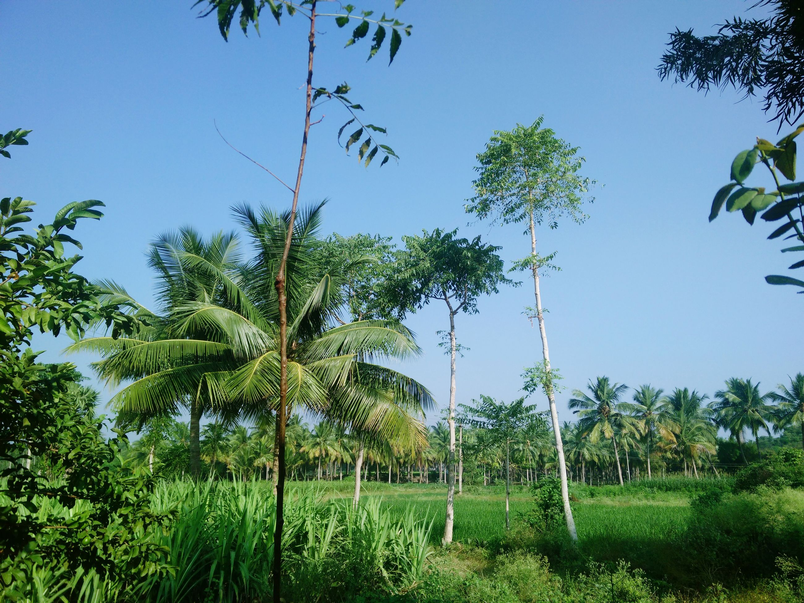 tree, clear sky, growth, green color, tranquility, tranquil scene, grass, nature, field, beauty in nature, branch, landscape, scenics, blue, green, plant, tree trunk, lush foliage, sunlight, growing
