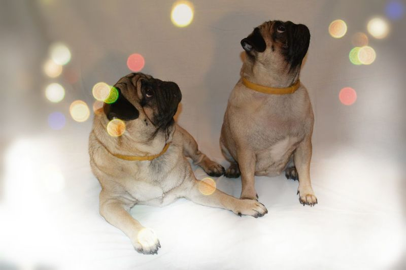 My lovely dogs. Brother and sister love. Pierre and Lara the pug. ? Pets Pugs Pug Love Brother & Sister