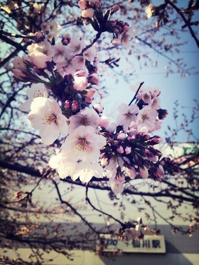 Cherry Blossoms Spring Spring Flowers Sengawa