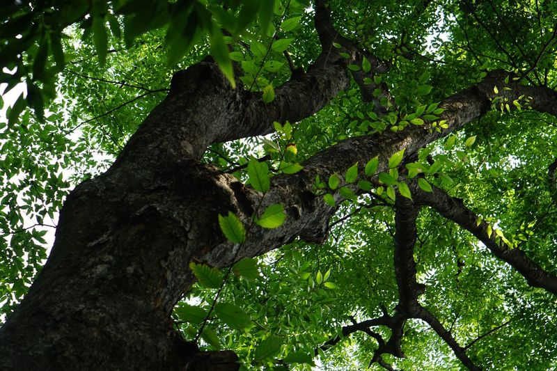 Tree Nature Tree Trunk Low Angle View Green Color Leaf Lush Foliage Branch Growth No People Outdoors Forest Day Close-up Freshness Hugging A Tree