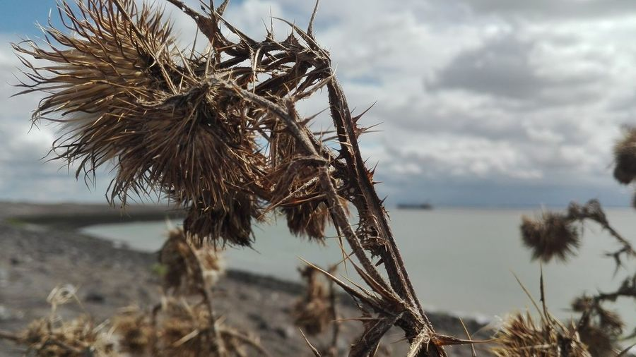 Close-up of dry plant against cloudy sky