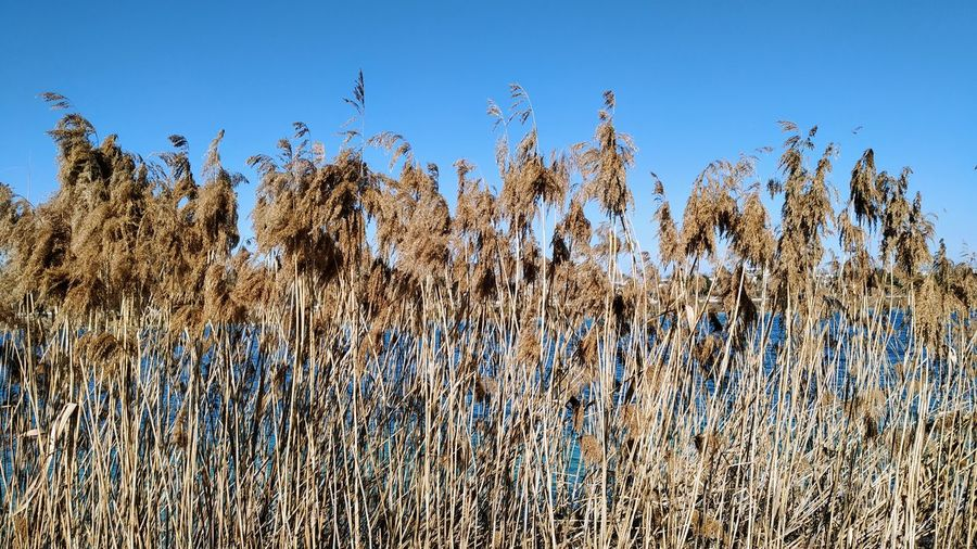 Low angle view of plants growing on field against clear blue sky