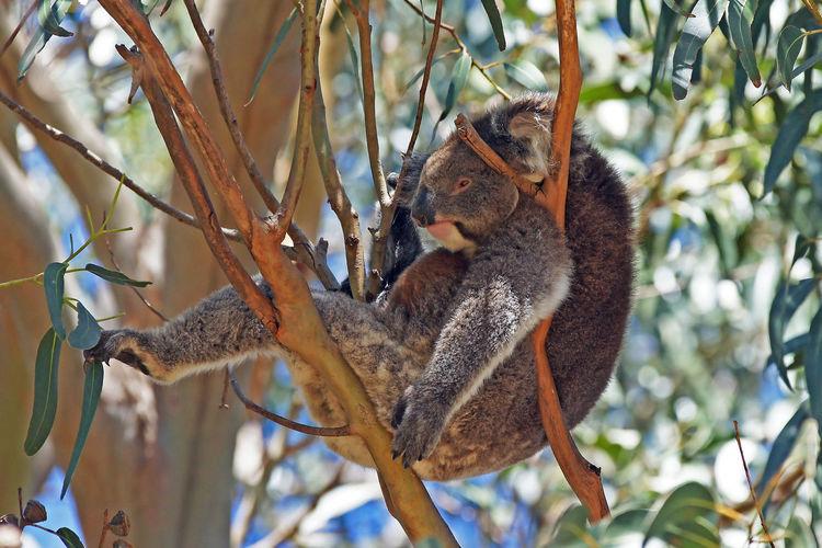 Koala relaxing in the wild