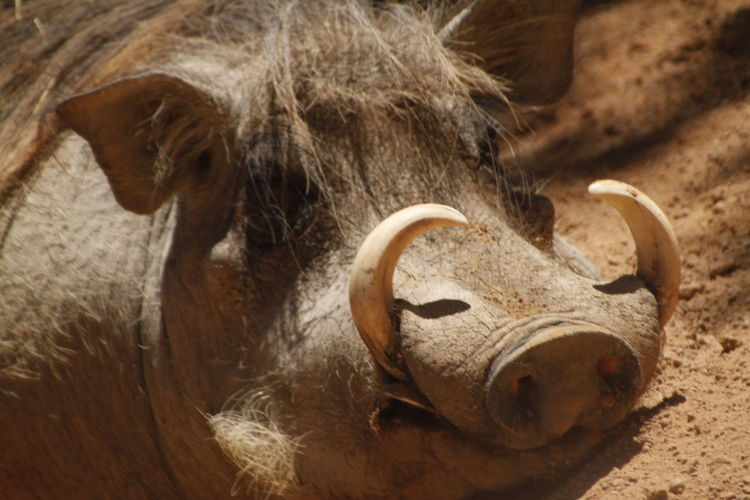Close-up of warthog resting on field
