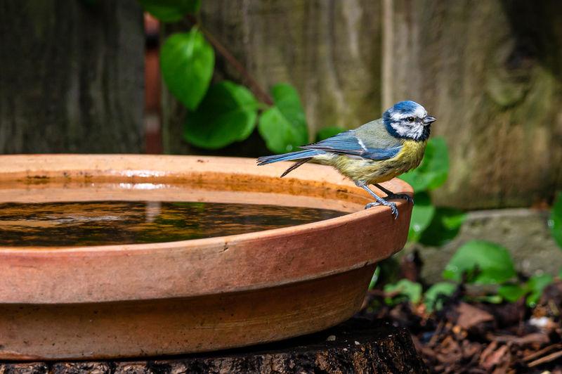 Eurasian blue tit, cyanistes caeruleus, perched by the side of a bird bath