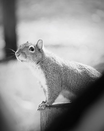 Feed Me Squirrel From My Car Window Looking In Looking At Camera Animals Black And White Parks Park Life