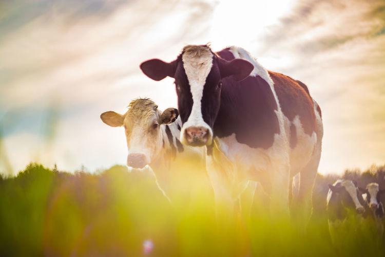 Cows taken