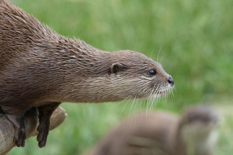 Head shot of an otter