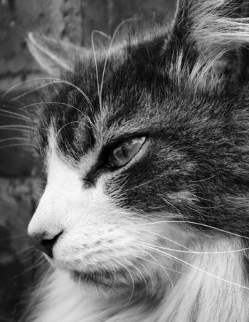 Domestic Cat Pets Animal Themes Domestic Animals One Animal Mammal Feline Cat Whisker Close-up No People Animal Head  Portrait Day I Love My Merlin Cat Lovers Canon700D Pet Portraits