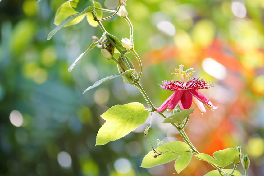 Climber Light Morning Natural Red Beauty In Nature Branch Buatiful Creeping Plant Flower Focus On Foreground Fora Fragility Freshness Green Color Greenery Growth Leaf Leaves Liana Nature Outdoors Plant Tree Vine