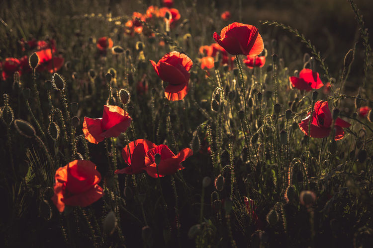 Red poppy flowers blooming in meadow