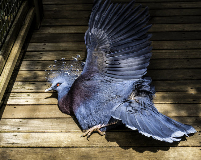 High angle view of fallen victoria crowned pigeon on floorboard at philadelphia zoo