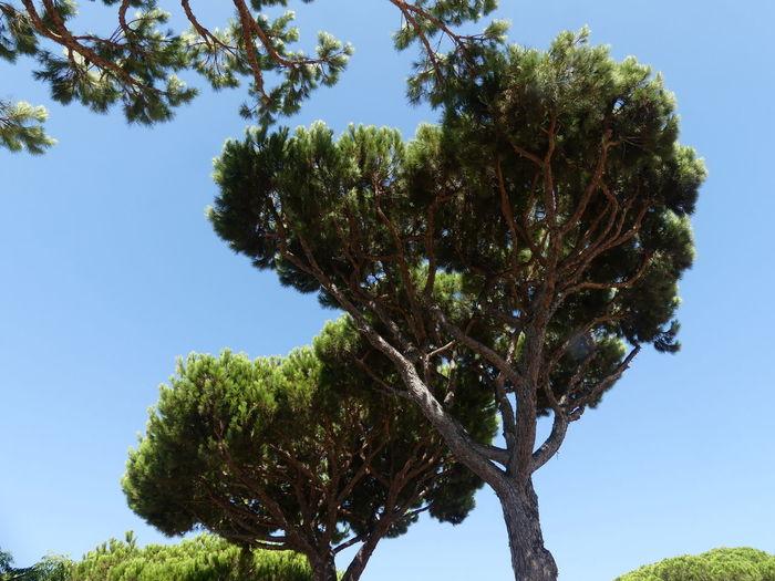 Pine Trees,