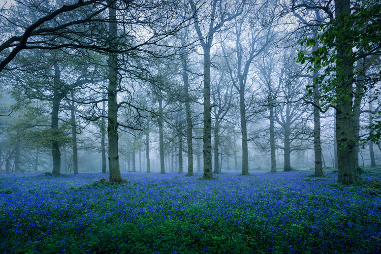 Bare Tree Beauty Beauty In Nature Bluebell Wood Bluebells Day Flower Fog Forest Freshness Growth Landscape Mist Nature No People Outdoors Plant Purple Rural Scene Scenics Springtime Tranquil Scene Tranquility Tree WoodLand