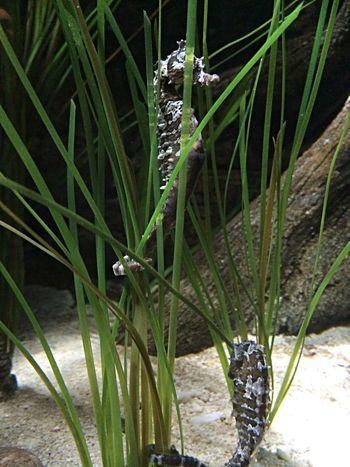 Seahorses Enjoying Life Sightseeing Animals Seahorses