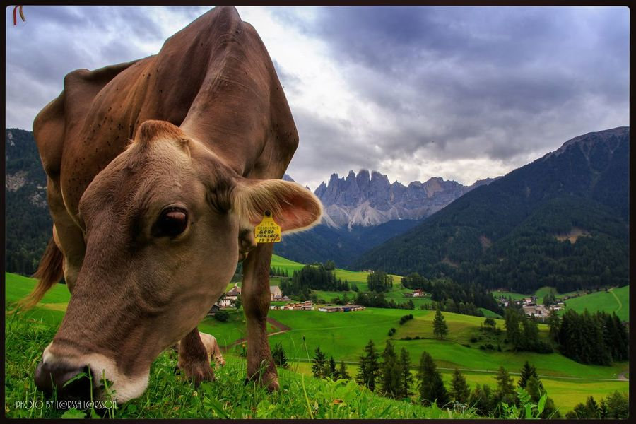Cow grazing in Val di Funes Animal Themes Cow One Animal Grass Mountain Domestic Animals Cloud - Sky Green Color Animal Head  Sky Nature Mountain Range Mammal Beauty In Nature Outdoors Tranquil Scene Brown Herbivorous Domestic Cattle People And Places