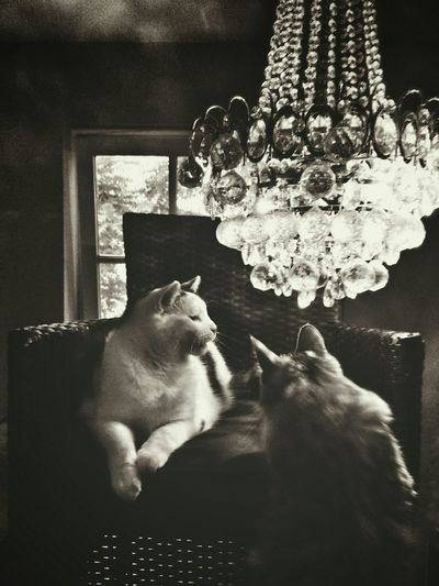 Aristocats in Shades Of Grey . Surrealism Pets Catoftheday Catlovers Glitch Cats Of EyeEm Blackandwhite Mobilephotography Chandelier THESE Are My Friends Interior Views My Favorite Photo Fine Art Photography Aristocats Home Is Where The Art Is Monochrome Photography