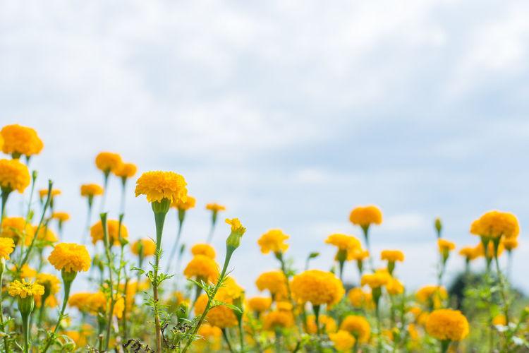 Fresh yellow flowers blooming in field against sky
