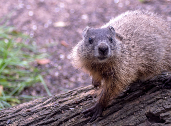 Woodchuck is curious, as he walks across a fallen log, and looks directly into the camera
