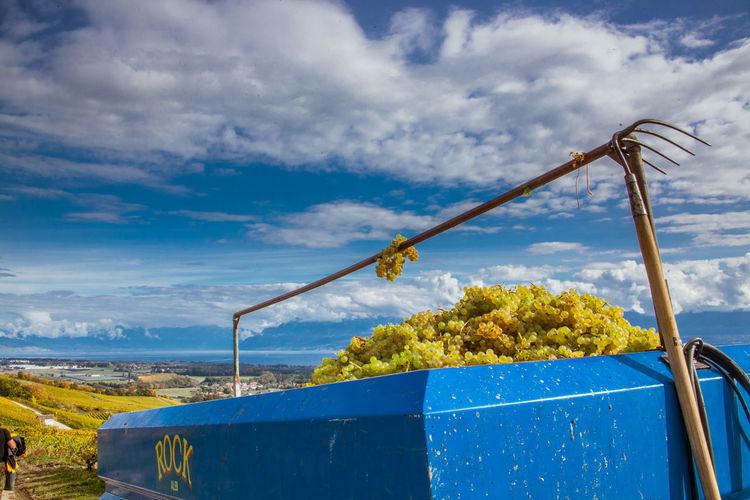Blue Blue Sky Cloud - Sky Environment Field Grape Grape Picking Growth Nature Outdoors Vine Vineyard Wine Fields Wine Making