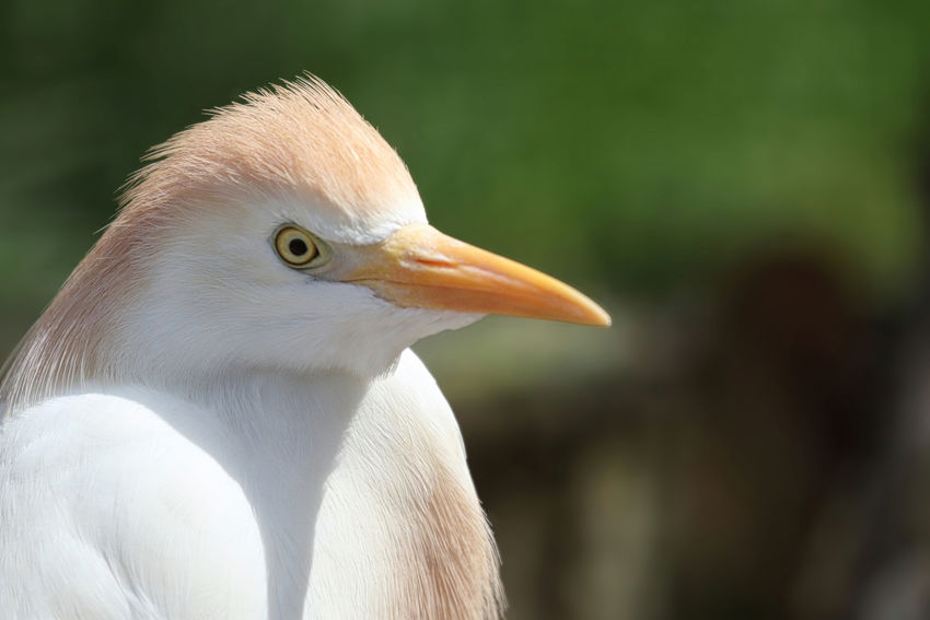 Cattle Egret Animal Animal Body Part Animal Eye Animal Head  Animal Neck Animal Themes Animal Wildlife Animals In The Wild Beak Bird Close-up Day Eagle Egret Focus On Foreground Looking Looking Away Nature No People One Animal Outdoors Profile View Vertebrate White Color