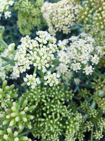 Goldenratio Blossom Freshness Close-up Generosity First Eyeem Photo Naturepatterns Sausset Les Pins France 🇫🇷