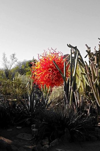 Desert Botanical Garden, 'Chihuly in the Desert'. Arizona Way Out West Desert Botanical Garden Chihuly In The Desert Artistic Glass Beautiful Stunning Colorful Colour Of Life
