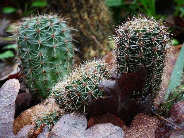 Macro Nature Macro Beauty Macro_collection Macro Photography Macro Nature No People Power In Nature Outdoors Rijeka Rijeka.Croatia❤⛵ Kantrida Green Cactus Textured  Pattern Tiny Cactus Cactus Brown Leaves