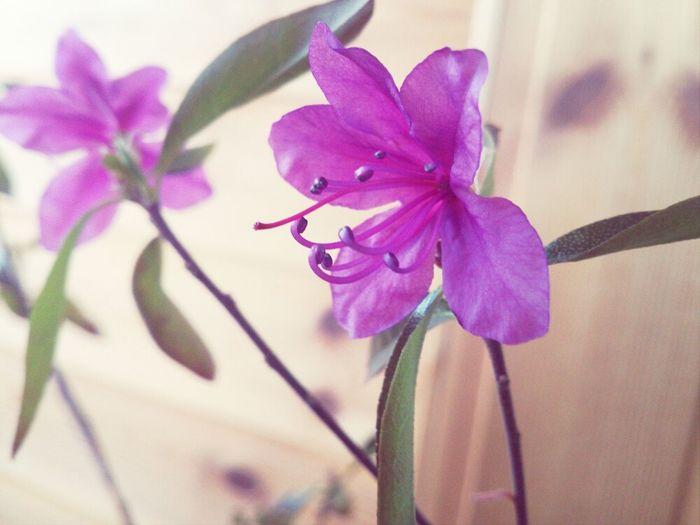 Nature Flower Beautiful Art Photography Violet багульник
