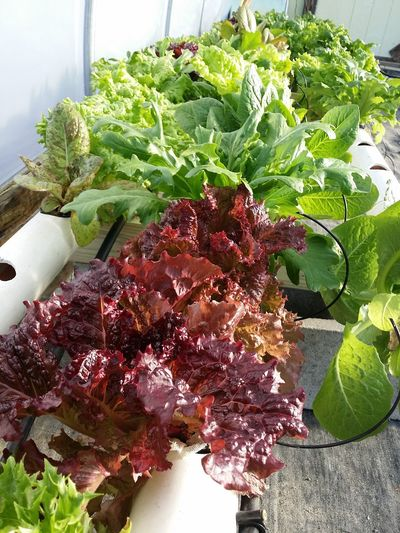 Hydroponic Lettuce Red Leaf Lettuce Green Leaf Lettuce Fresh Produce Tranquility Hill Farm Clifton Springs Ny