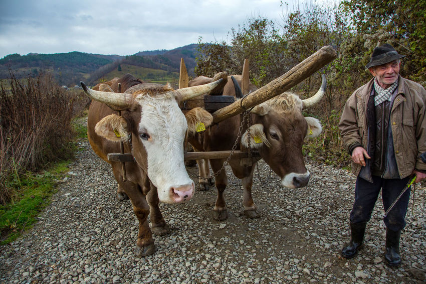 Maramures Romania Agriculture Animal Themes Cow Day Domestic Animals Livestock Mammal Nature No People Outdoors Oxen Portrait Sky Standing