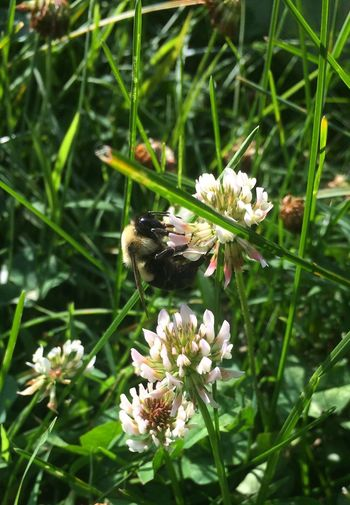 Bumblebee Flower Animal Themes Insect Animals In The Wild Nature One Animal Fragility Plant Wildlife Growth Beauty In Nature Animal Wildlife White Color No People Day Pollination Freshness Petal Symbiotic Relationship Outdoors Bee Bumblebee Bugs Bug Insects