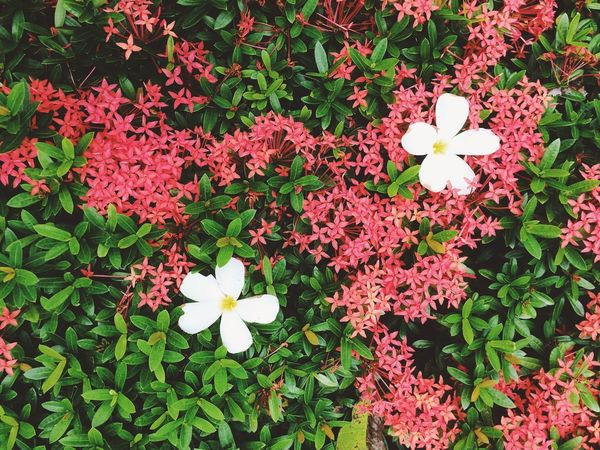 Beauty In Nature Blooming Day Flower Flower Head Fragility Freshness Growth High Angle View Nature No People Outdoors Periwinkle Petal Plant