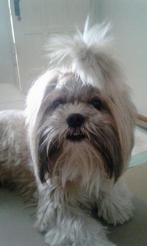 Lana. Pets Dog Animal Hair One Animal Domestic Animals No People Animal Themes Shitzu Puppy shitzu Shitzu Dog Lovedog ❤