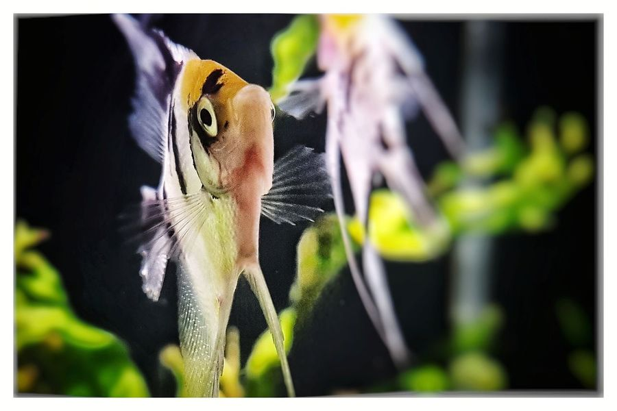 Pterophyllum Scalare (Koi Angelfish) Focus On Foreground Close-up Angelfish Aquarium Photography Cichlids