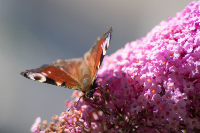 Butterfly Animal In The City Animal Themes Butterfly Close Up Day Insect No People Outdoors Perching Pink Pollinating Insect Summer Time