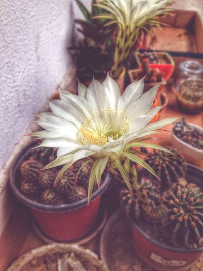 The cactus flower in my office Flowers Flower Office Cactus Jiaxing